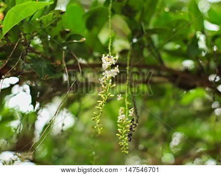 Florida fiddlewood, Spiny fiddlewood, or Citharexylum spinosum