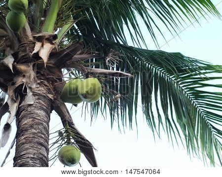 crown of coconut palm tree with blue sky background