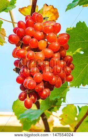 Bunch of Crimson Seedless Grapes on a vine