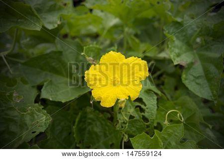 Thai Sponge Gourd Flower,zucchini Flower,close-up Of Sponge Gourd.