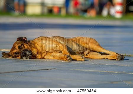 stray dog lying in the sun in summer