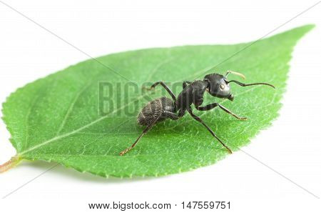 Macro Of Big Ant On Leaf