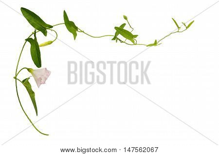 Bindweed flower and leaves isolated on white