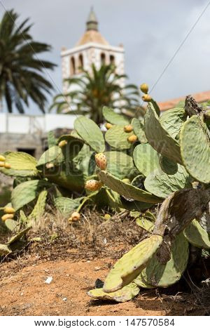 Opuntia ficus-indica is a species of cactus that has long been a domesticated crop plant important in agricultural economies throughout arid and semiarid parts of the world.