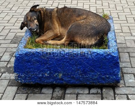 Homeless dog sleeping in the flowerpot on the footway