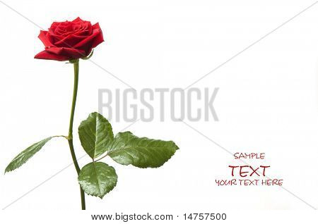 Day Valentinstag rote rose