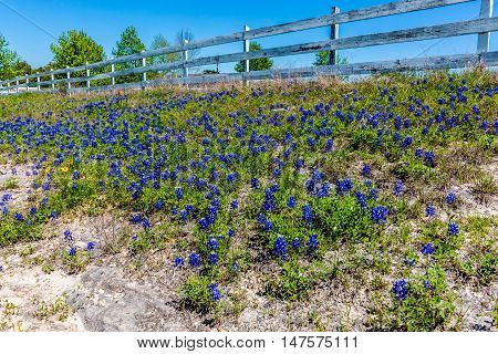 A Patch Of The Famous Texas Bluebonnet Wildflowers