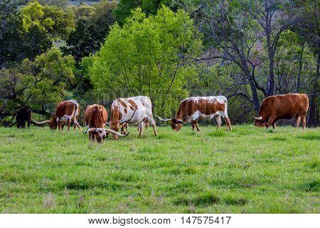 Texas Longhorns.