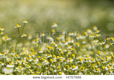 chamomile  background as spring theme