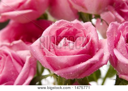 Pink Rose Close-Up 5