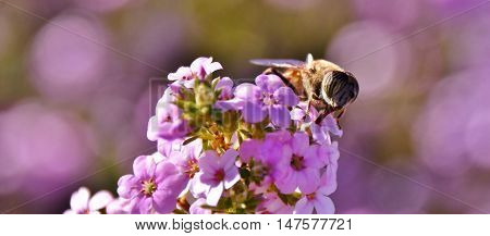 Close up of a Hoverfly on purple blossoms