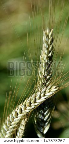 Close up of green wheat in bright sunshine