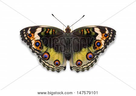 Yellow Color Blue Pansy Butterfly