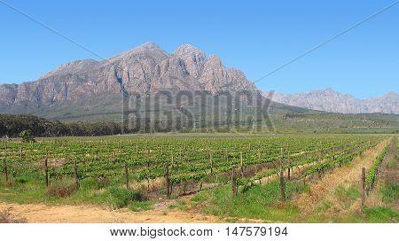 Grape Farm, Western Cape South Africa 05a