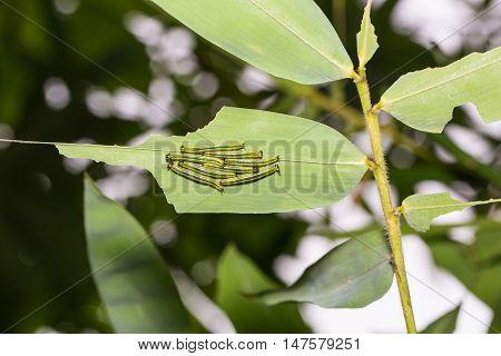 Great Evening Brown Caterpillars