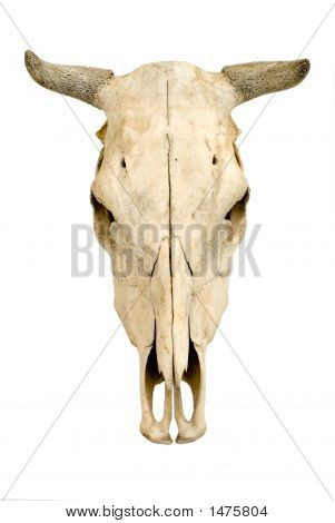 Cow'S Cranium