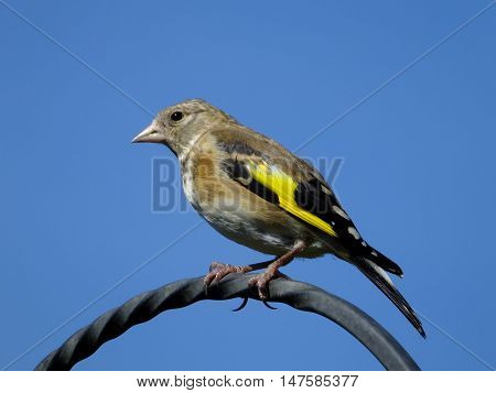 Goldfinch perched on a metal hook against blue sky