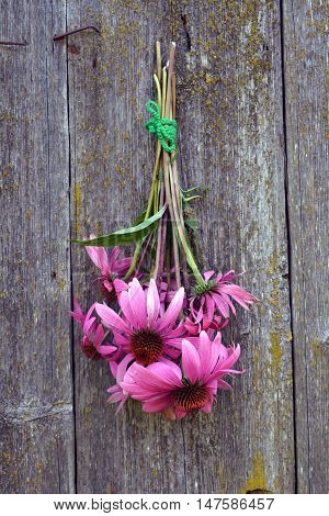 Bunch of echinacea flowers hanging on wooden old rustic background