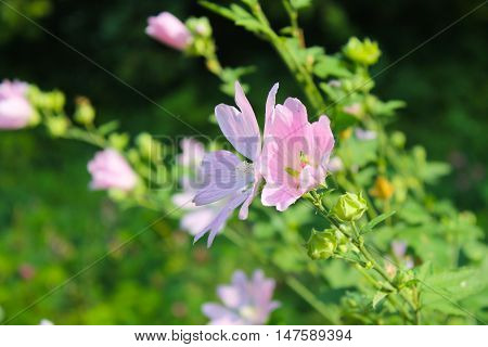 Wild pink mallow growing on the meadow