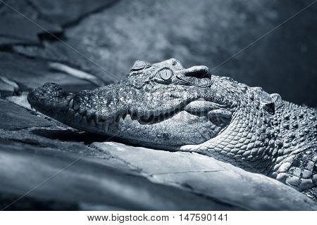 Muzzle of the crocodile close up. Cambodia