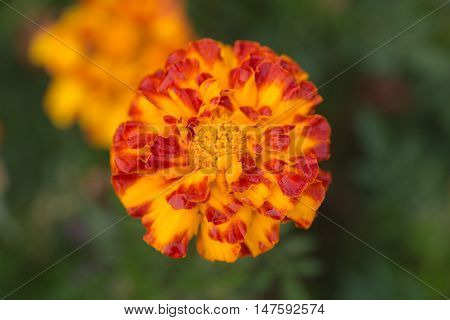 Marigold on the green background close up