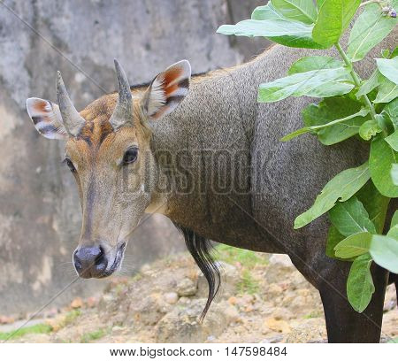 male nilgai head and shoulders, looking out from behind a bush, at a zoo near Songkhla, Thailand
