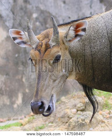 male nilgai head and shoulders, looking out from behind a bush with mouth open comically, as though talking, at a zoo near Songkhla, Thailand