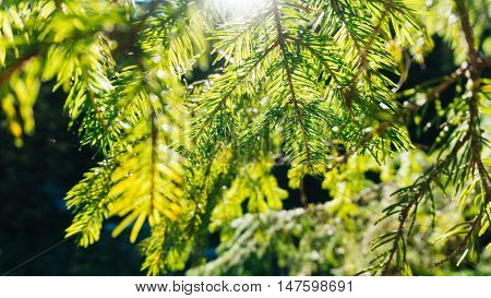 Nature background of sunny pine tree needles on branch. Wild nature background. Nature background. Green nature. Nature background. Nature pattern Nature Great nature Background nature