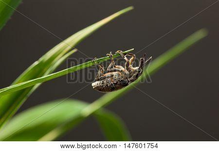 Weevil Hanging On Blade Top