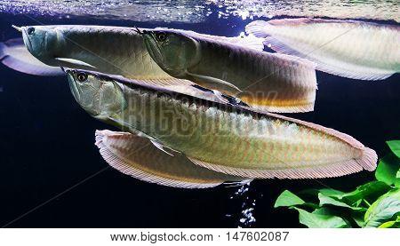Asian Arowana fish in aQuarium on nature background