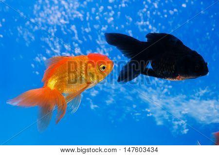 Goldfish in aquarium isolated on blue background
