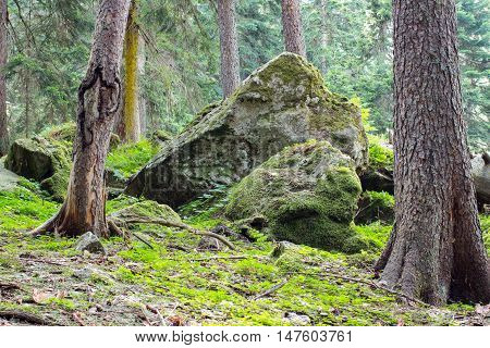 Forest moss stones trees evening. Green scene