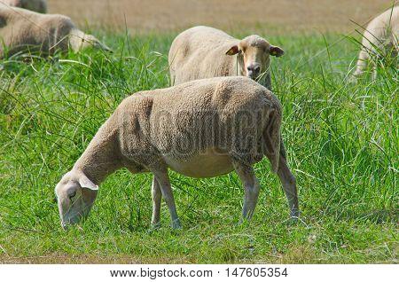 Herd Of Sheeps Grazing In Galicia