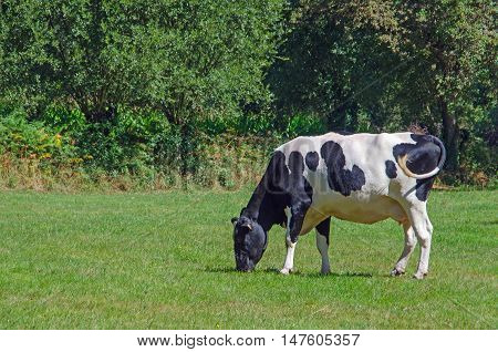 Cow Grazing In The Galician Meadows