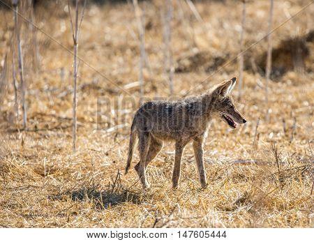 Young Coyote (Canis latrans) hunting in the grass. Santa Teresa County Park, California, USA