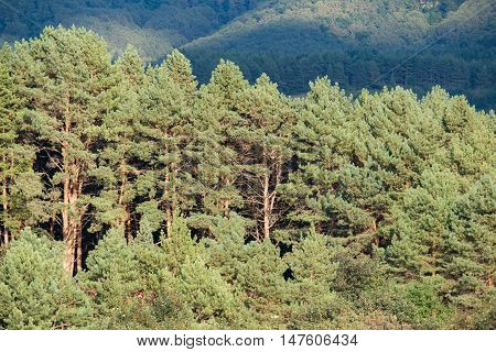Pine forest in autumn day. Green and light