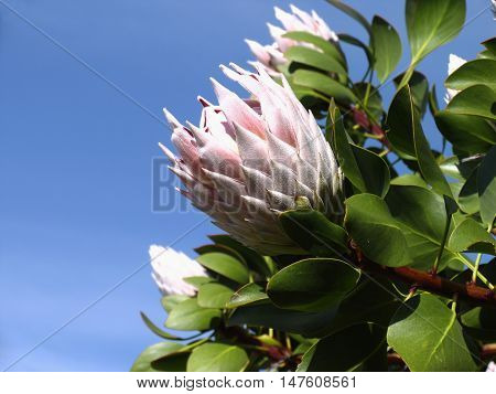 Proteas From Kirstenbosch, Cape Town South Africa 01f c