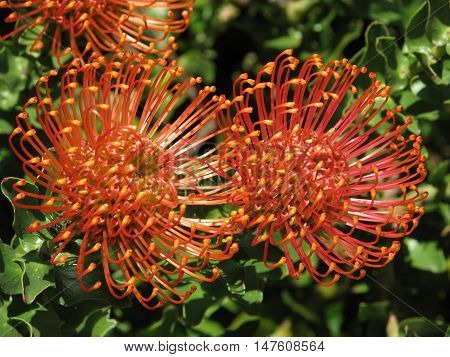 Proteas From Kirstenbosch, Cape Town South Africa 01g