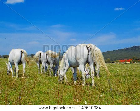 Herd of white horses grazing on meadow