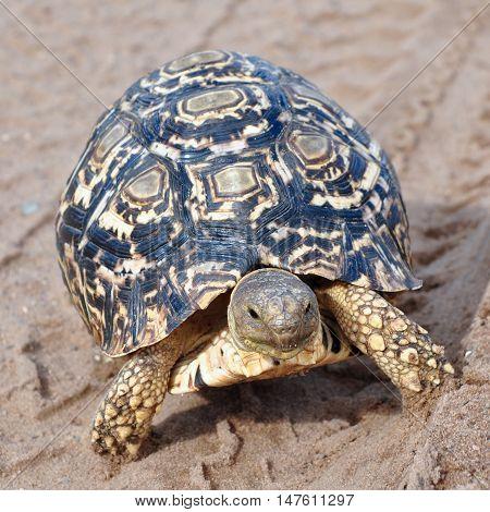 leopard tortoise in track footprint,Chobe national park