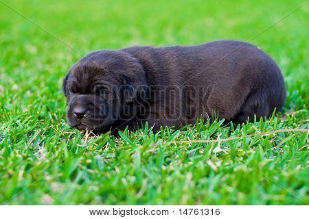 cute black chow puppy
