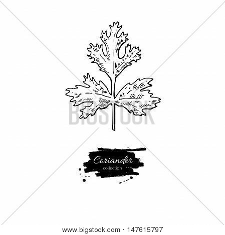 Coriander plant vector hand drawn illustration. Isolated spice object. Engraved style seasoning. Detailed organic product sketch. Cooking flavor ingredient. Great for label, sign, icon