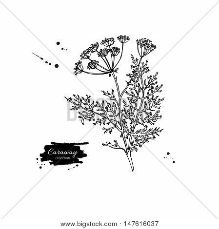 Caraway plant vector hand drawn illustration. Isolated spice object. Engraved style seasoning. Detailed organic product sketch. Cooking flavor ingredient. Great for label, sign, icon