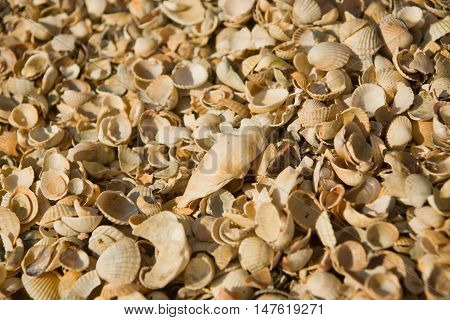 Seashell Background. Azov Sea. Dolzhanskaya Spit