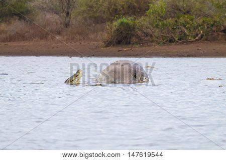 Dead Hippo On Kruger Lake