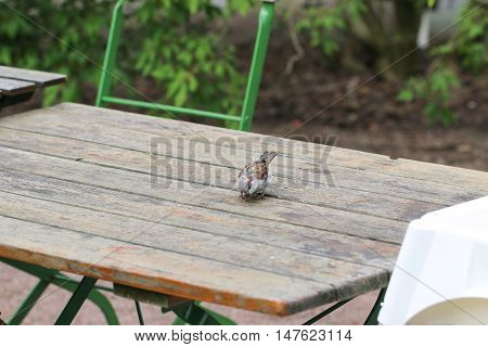 Sparrow sitting on a wooden table outside a cafe.