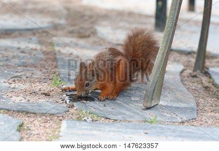 Squirrel. Animals in botanical garden. Red squirrel.