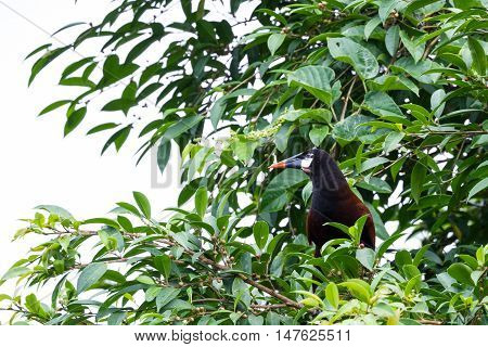 Oropendola In Costa Rica