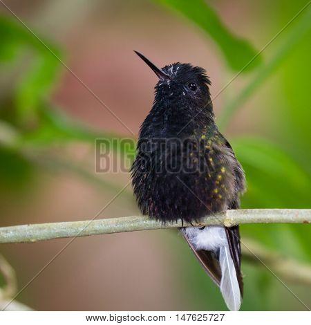 Black Bellied Hummingbird - Eupherusa Nigriventris