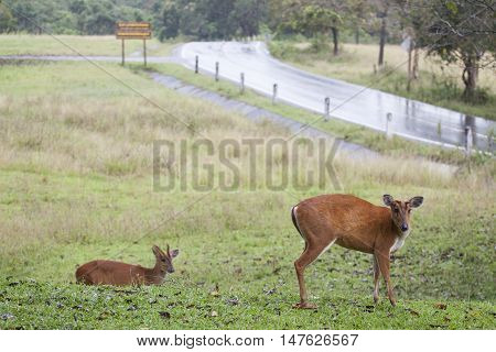 barking deer in khaoyai national park thailand